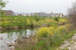 アパートのそばの藻川は菜の花畑