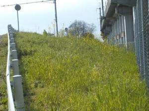 アパート近くの藻川の堤防は菜の花満開